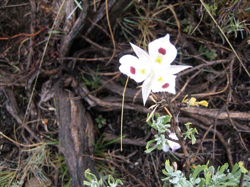 Big-pod Mariposa lily