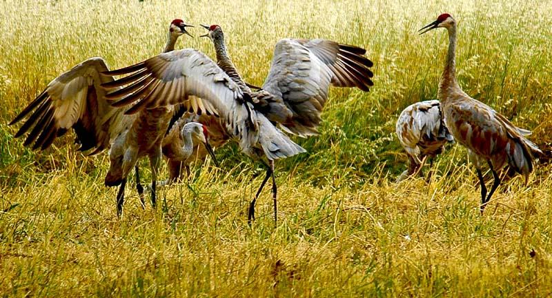 06-15-sandhill_cranes-0120