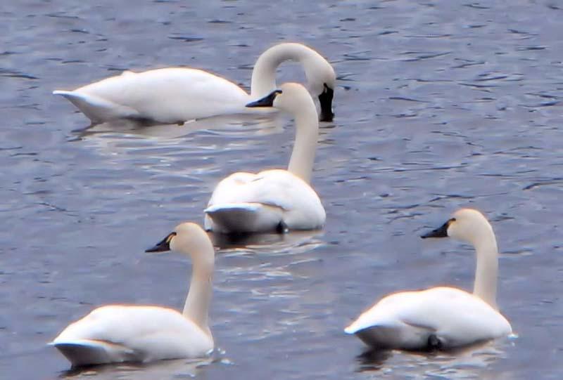 valencia-four-tundra-swans-031612