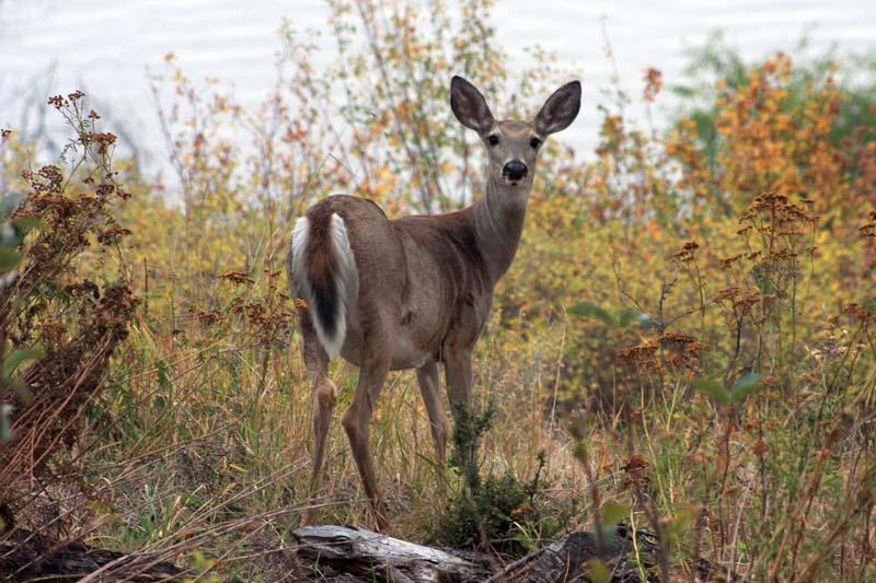 Deer on the lakeshore, photo courtesy of Idaho Tourism