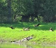 elk-bedded-down-near-the-water